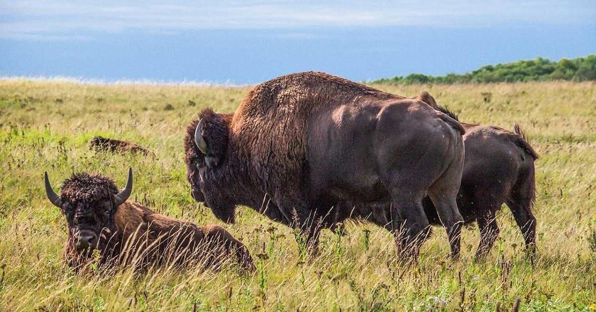Bisons in Manitoba, ein tolles Ziel für Wohnmobilreisen